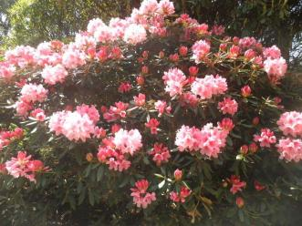 Rhododendron at Nymans May 2017