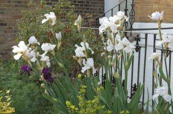 Irises at Bingham Street May 2015