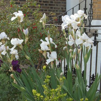 Irises at Bingham Street May 2015