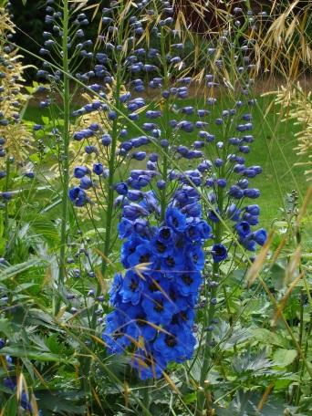 Delphinium - IG visit to Hugh Johnson's garden