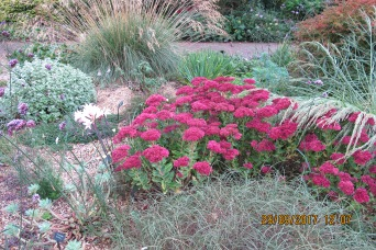 Sedum in gravel garden (Beth Chatto's Garden)