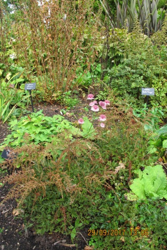 Pic of Astrantia in water garden (Beth Chatto's Garden)