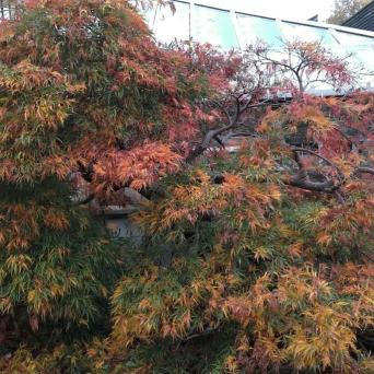 Autumnal Acer at Ally Pally
