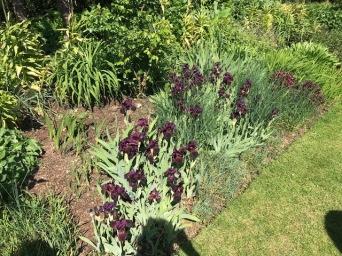 Irises in Theobalds Farm May 2018